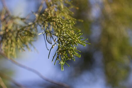 arborvitae: arborvitae branch on the nature. macro