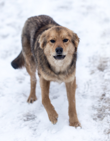 half blooded: dog barking outdoors in winter