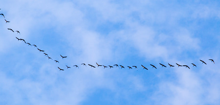 migrate: flock of swans flying against a blue sky in the south Stock Photo