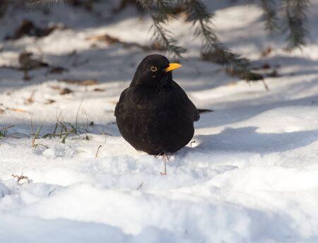 invasive species: Starling on snow in winter