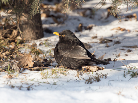 invasive: Starling on snow in winter