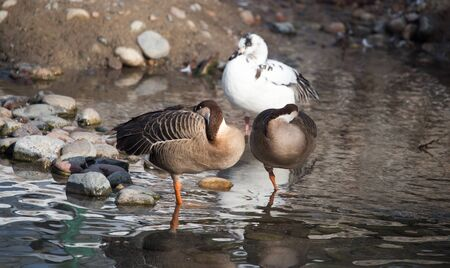 warm blooded: ducks in a lake in nature