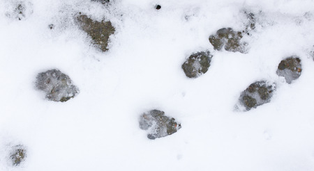 huellas de perro: Huellas de perro en la nieve en la naturaleza Foto de archivo