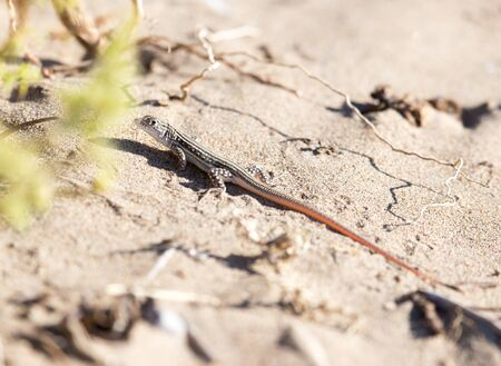 viviparous: lizard in the nature