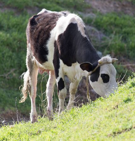 fresian: cow grazing on nature Stock Photo