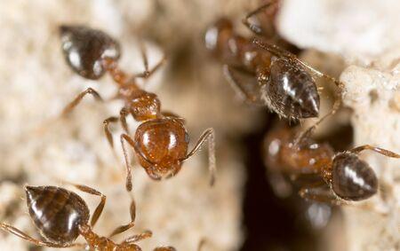 hexapoda: Ant. close Stock Photo