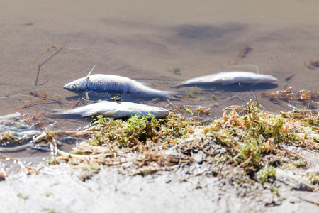 ecological problem: dead fish in the river Stock Photo