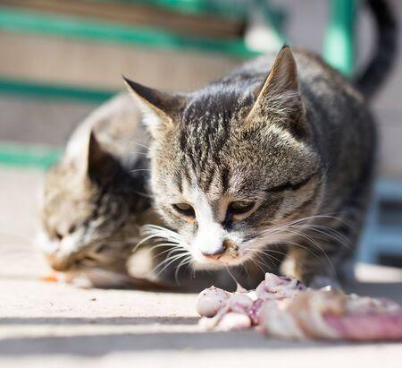 flesh eating animal: cat eats meat on nature