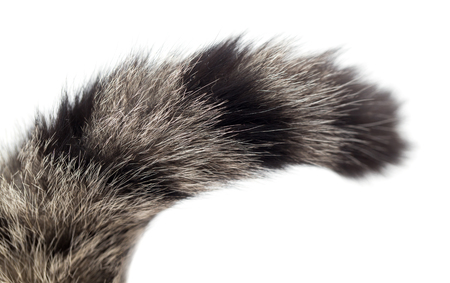 animal limb: tail of a cat on a white background