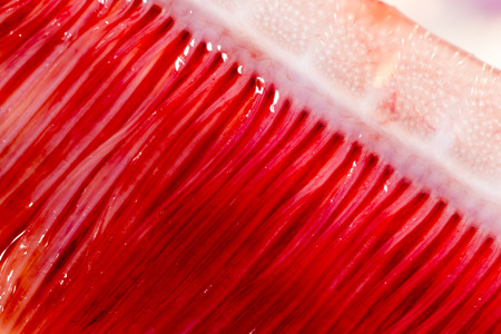 gills: pike fish gills. super macro Stock Photo