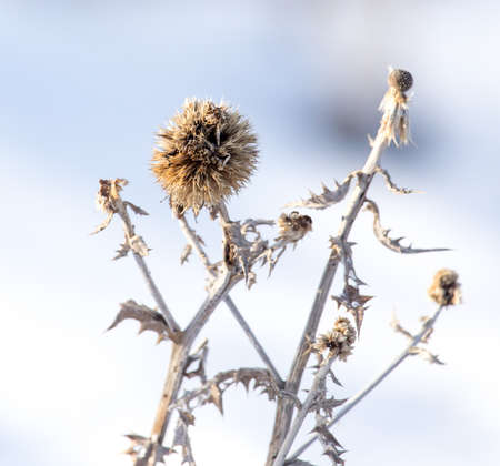 frozenned: Dry grass in the winter in the snow. Dried vegetation. Winter landscape. Frozenned grass. Selective focus Stock Photo