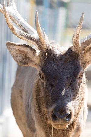 missouri wildlife: Portrait of a deer in nature Stock Photo