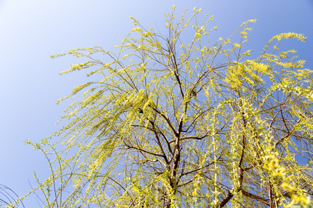 great sallow: flowers on the tree in nature willow Stock Photo