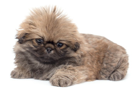 yorky: Beautiful little fluffy puppy on a white background