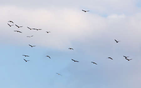 seagull: A flock of seagulls flying in the sky