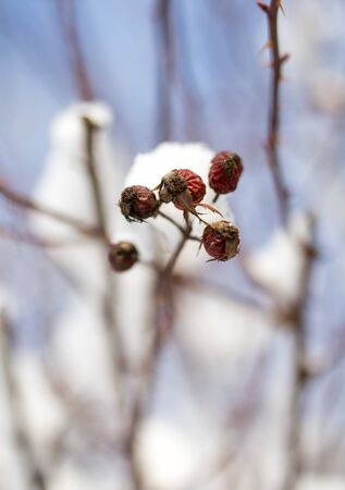 rote: snow on the wild rose winter Stock Photo
