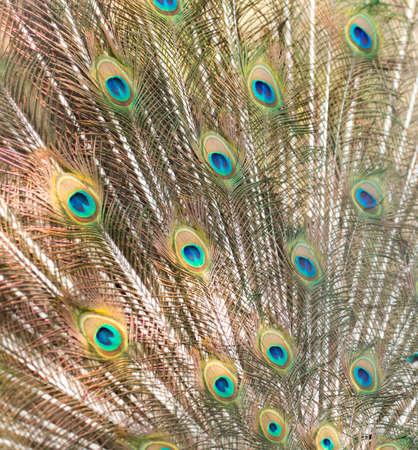 breading: peacock showing beautiful plumage in breading season