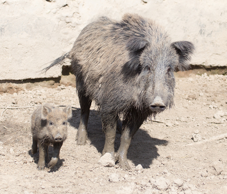 omnivores: wild boar in the mud in the zoo