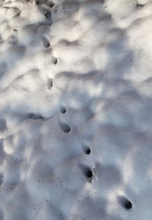 walking corpse: animal footprint on white snow Stock Photo