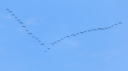 tundra swan: flock of swans flying against a blue sky in the south Stock Photo