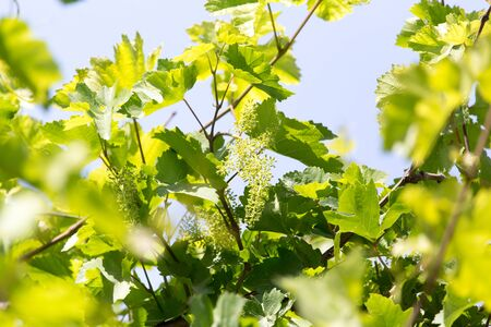 grape cluster: shallow DOF vine sprout with young grape cluster