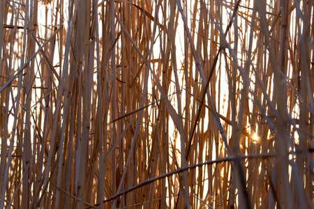 canne: canne al tramonto in natura