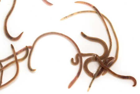 earthworms: earthworms on a white background. Macro Stock Photo
