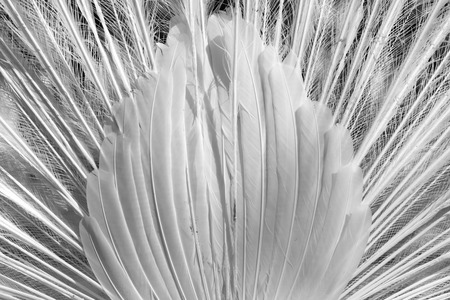 feathering: white peacock feathers as a background