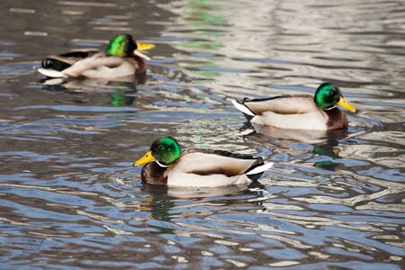 wetland conservation: ducks in a lake in nature