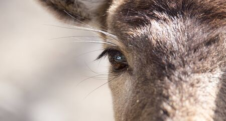 eyecontact: Eye deer in nature, close-up