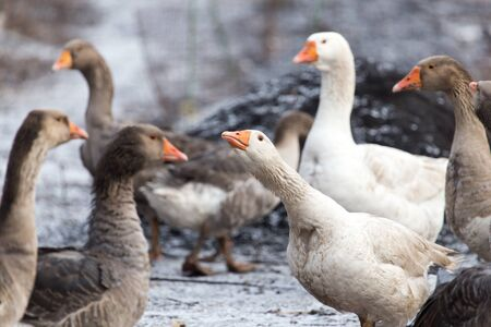 white fronted goose: geese in the winter nature