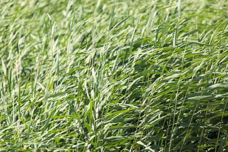canne: canne verde in natura