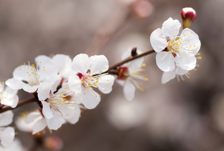neatness: apricot flowers on a tree in nature Stock Photo