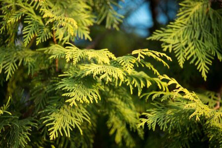 arborvitae: Green arborvitae branch on the nature Stock Photo