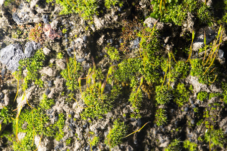 thick growth: green moss on nature. close-up