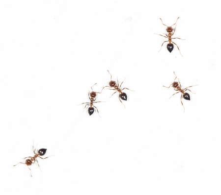 salticidae: ants on a white wall