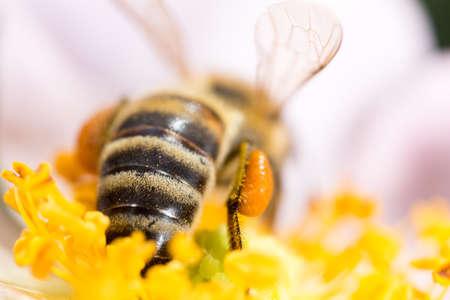 bee on flower: bee on a flower. macro