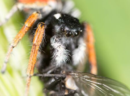 arachnophobia animal bite: spider with a fly in nature. macro Stock Photo