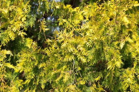 arborvitae: Green arborvitae branch on the nature Stock Photo