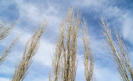 bare branches of a poplar against the blue sky Stock Photo