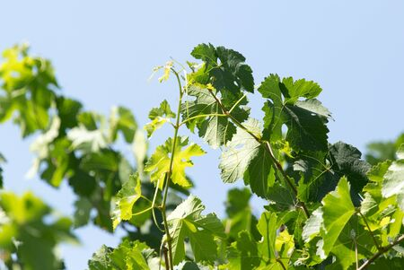twined: young leaves of the vineyard Stock Photo