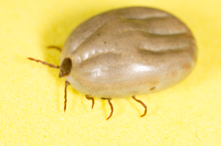 mite: beetle mite on a yellow background