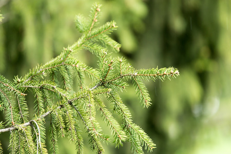 coniferous tree: Beautiful green coniferous tree in nature Stock Photo