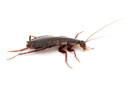 filth: cockroach on a white background