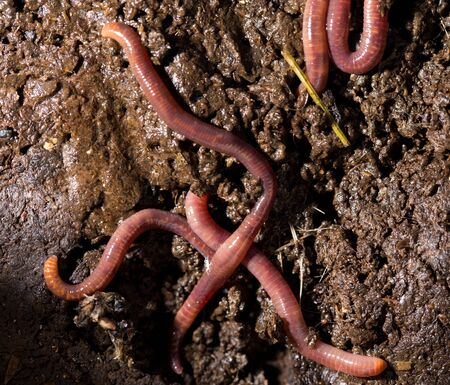 wiggler: red worms in compost. macro