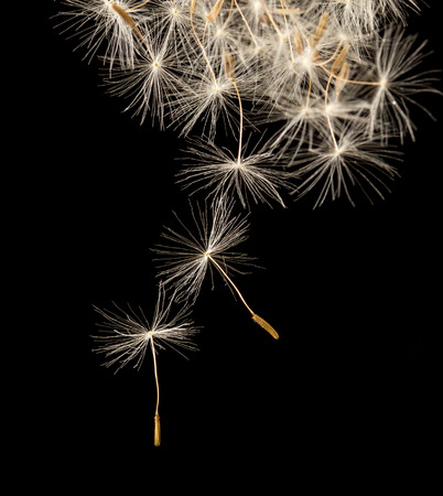 fluff: dandelion fluff on a black background. macro