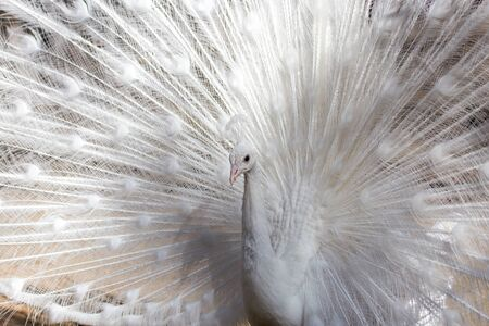 feathering: Portrait of the beautiful male white peacock with spread tail feathers Stock Photo