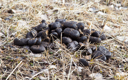 droppings: horse dung on the ground in nature