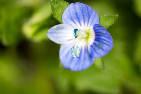 super macro: small blue flower. super macro