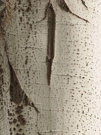 arbol alamo: corteza de los �rboles de �lamo como fondo Foto de archivo
